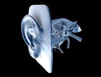 Oídos humanos Imagen de archivo libre de regalías