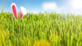 Oídos jugosos de la hierba y del conejito en la sol Fotos de archivo libres de regalías