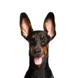 Oídos lindos del perro del dobermann Imagen de archivo libre de regalías