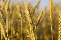 Oídos maduros amarillos del trigo Imagen de archivo