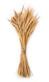 Oídos maduros del manojo del trigo aislados en el fondo blanco Foto de archivo libre de regalías