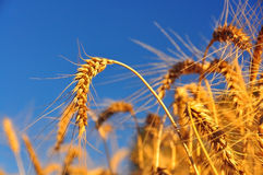 Oídos maduros del trigo Foto de archivo