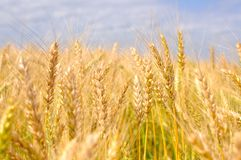 Oídos maduros del trigo Fotos de archivo