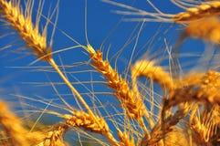 Oídos maduros del trigo Fotografía de archivo libre de regalías