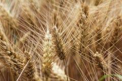 Oídos maduros del trigo Imagen de archivo libre de regalías