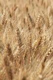 Oídos maduros del trigo Imágenes de archivo libres de regalías
