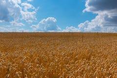 Oídos maduros del trigo contra el cielo azul con las nubes Imagen de archivo