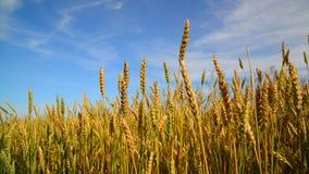 Oídos maduros del trigo en campo en la puesta del sol metrajes