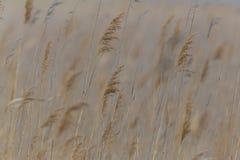 Oídos naturales de la hierba de lámina en el viento foto de archivo