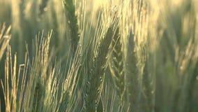 Oídos o cereales del trigo almacen de metraje de vídeo