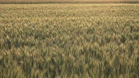 Oídos o cereales del trigo almacen de video