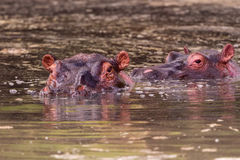 Oídos, ojos y nariz del hipopótamo Fotografía de archivo libre de regalías