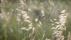 Oídos que se mueven en el viento en prado almacen de metraje de vídeo