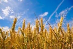 Oídos sanos hermosos del trigo debajo de un cielo azul Fotos de archivo