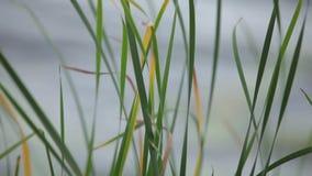 Oídos verdes de la hierba que se sacuden en el viento en el campo soleado metrajes