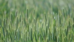 Oídos verdes de la oscilación del trigo en el viento almacen de metraje de vídeo