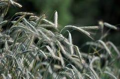 Oídos verdes de Rye Fotografía de archivo