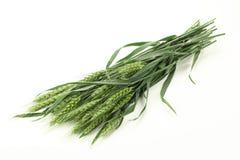 Oídos verdes del trigo Imagenes de archivo