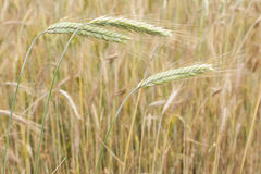 Oídos verdes del trigo. fotografía de archivo libre de regalías