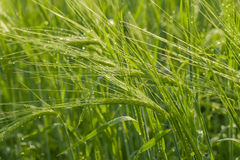Oídos verdes del trigo Fotografía de archivo libre de regalías
