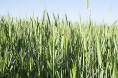 Oídos verdes del trigo Imágenes de archivo libres de regalías