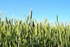 Oídos verdes del trigo Foto de archivo