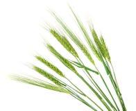 Oídos verdes del trigo aislados Fotos de archivo libres de regalías