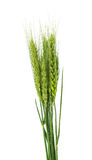 Oídos verdes del trigo aislados Fotografía de archivo