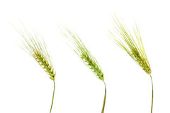 Oídos verdes del trigo aislados en el fondo blanco Fotografía de archivo libre de regalías