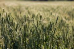 Oídos verdes del trigo en campo Imágenes de archivo libres de regalías