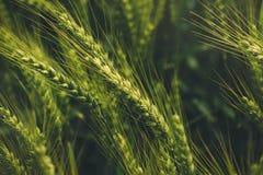 Oídos verdes del triticale, híbrido del trigo y centeno en campo fotografía de archivo