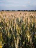Oídos verdes y amarillos de la primavera fresca de trigo del campo Fotografía de archivo