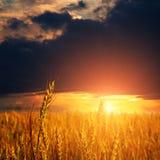 Oídos y luz del trigo en el cielo de la puesta del sol Imágenes de archivo libres de regalías