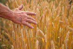 Oídos y mano del trigo Foto de archivo libre de regalías