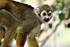 Обезьяна белки, обезьяны нового мира, зоопарк Феникса, Феникс, Аризона стоковые фотографии rf