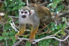 Обезьяна белки, обезьяны нового мира, зоопарк Феникса, Феникс, Аризона стоковое фото