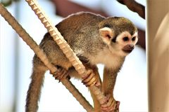 Обезьяна белки, обезьяны нового мира, зоопарк Феникса, Феникс, Аризона стоковое фото rf