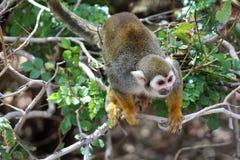 Обезьяна белки, обезьяны нового мира, зоопарк Феникса, Феникс, Аризона стоковая фотография rf