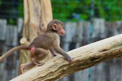 Обезьяна имея потеху в зоопарке в Баварии стоковое фото