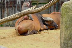 Обезьяна имея потеху в зоопарке в Баварии стоковое фото rf