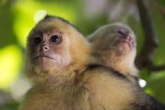 Обезьяна Манюэль Antonio Коста-Рика Capuchin жителя Панамы белая возглавленная стоковые изображения