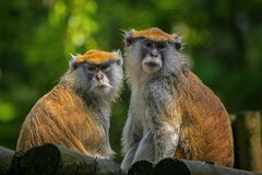 Обезьяна Patas, милая, обезьяна, портрет стоковые фотографии rf