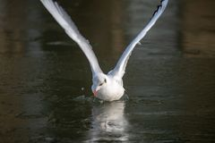 Общая чайка моря причаливая замороженному реке стоковое изображение rf