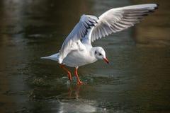Общая чайка моря причаливая замороженному реке стоковое изображение