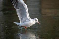 Общая чайка моря причаливая замороженному реке стоковые изображения rf