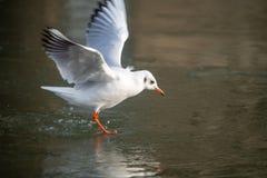 Общая чайка моря причаливая замороженному реке стоковые фото