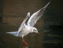 Общая чайка моря причаливая замороженному реке стоковое фото