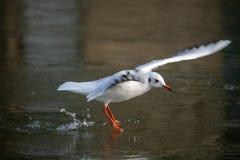 Общая чайка моря причаливая замороженному реке стоковое фото rf
