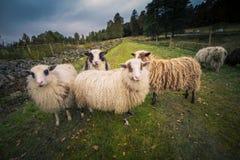 5 овец в природе Швеции стоковая фотография
