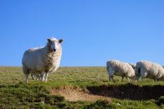 Овцы на луге наблюдая к камере стоковые изображения rf